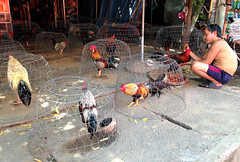 Cock fighting roosters. Mekong Delta, Vietnam (DK Travel Photography) Tags: life street city travel food kite mountains beach hat bike bicycle architecture night dinner canon river photography bay spring highlands fight fishing asia vietnamese market propaganda candid south graduation delta scooter cock surfing an ne east vietnam viet mausoleum chi frogs socialist rolls rooster cave ho hanoi minh hue saigon tombs mekong socialism halong sapa nam hoi hcmc mui caodaism 5d3