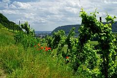 20160526-141725 (lichtschattenjaeger) Tags: rheinlandpfalz rhein leutesdorf hammerstein rheinsteig wein weinstock weinanbau schtzenweg