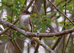 Eastern Phoebe (Sayornis phoebe) 0F3A5111 (Dale Scott.) Tags: easternphoebe albertacanada sayornisphoebe elkislandnationalpark