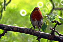 robin7 (gshaun12) Tags: bird nature robin animals bokeh wildlife upclose fantasticnature ukbird