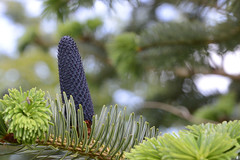 Pine cones, not always green or brown!! (thatmanwithacamera) Tags: cornwall cone tregothnan