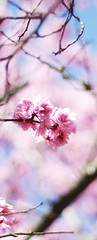 Cherry blossom (SS) Tags: flowers sky italy plant flower roma tree garden pentax blossom bokeh outdoor pastel crop cherryblossom lazio k5 villaborghese prunusserrulata verticalformat smcpentaxm50mmf17 ss