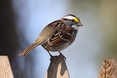 """White-throated Sparrow"" ""Zonotrichia albicollis"" (jackhawk9) Tags: nature birds canon newjersey wildlife ngc sparrow southjersey whitethroatedsparrow zonotrichiaalbicollis backyardbirding fantasticnature jackhawk9"