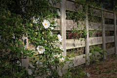 Sylvia's Cherokee Rose - HFF (TuthFaree) Tags: flower rural ga fence georgia wooden wire elements cherokeerose hff climbingrose swgeorgia fencefriday