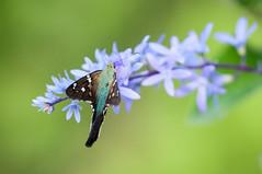 Urbanus belli (fabriciodo) Tags: macro butterfly nikon colombia skipper lepidoptera papillon mariposa schmetterlinge farfalle lpidoptre sigma150 urbanusbelli