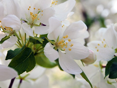 Apple Blossoms 2 of 3 (Gerry Marchand) Tags: white flower apple blossoms olympus omd em5