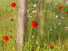 poppies and white flower (hans 1960) Tags: light red white flower green rot nature fleur outside licht outdoor natur may mai harmony poppies gras grn stillness farben stille weis ruhe mohnblumen