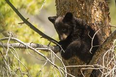 Shy guy (ChicagoBob46) Tags: blackbear bear cub yellowstone yellowstonenationalpark coy cuboftheyear