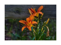 Daylilies (Hemerocallis) growing through a weathered fence in Fairfax Station, VA (sorrellbruce) Tags: flowers summer orange gardens rural colorful fuji gardening shapes textures daylily forms neatimage countrygarden photoninja framefun fujinon90mm lr66 fujixt1