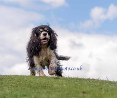 Wuggie 26 (Chris Willis 10) Tags: wiggle cavalier king charles spaniel dog pet portrait cheshire wwwpawsforaphotocouk