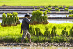 ChiangRai_7790 (JCS75) Tags: canon thailand asia asie ricefields chiangrai thailande rizire