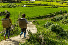 First love (Pet licule) Tags: field rice paddy vietnam cai ta lao sapa phin laocai terasse paddies terraced taphin phien