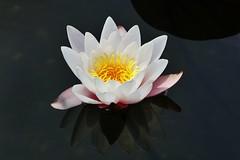 Seerose (Hugo von Schreck) Tags: flower macro blume makro blte waterlilly seerose greatphotographers tamron28300mmf3563divcpzda010 canoneos5dsr hugovonschreck