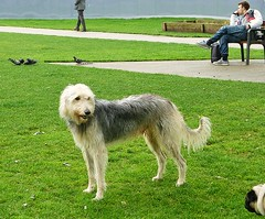another beautiful lurcher (helenoftheways) Tags: uk london dogs animals lurchers pottersfields