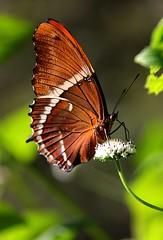 Guatemala - Mariposas / Butterflies (Galeon Fotografia) Tags: guatemala papillon borboleta mariposa farfalla schmetterling vlinder kelebek wow1 wow2 wow3 бабочка гватемала paroparo flickrstruereflection1 flickrstruereflection2 flickrstruereflection3 galeonfotografía
