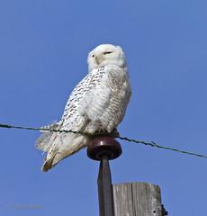 Snow Owl-1313 (westmichigan) Tags: winter white bird nature mi outdoors michigan owl snowowl montague westmichigan montaguemichigan montaguemi canoneos7d canonef100400mmf456lis