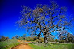 The Acorn Woodpecker's tree.