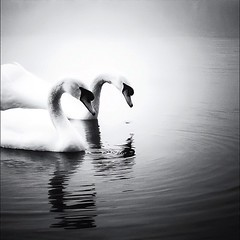 Swans Part 2 BW (Fabio C Photos) Tags: show street city family flowers blue trees winter wedding girls friends sunset sea party summer portrait sky people urban blackandwhite bw italy music woman dog baby sun white snow black flower color macro tree art fall love beach nature water girl car fashion animals bike rock architecture kids clouds cat canon vintage river garden square landscape geotagged fun photography photo dance spring concert model nikon europe italia day photos band squareformat iphone iphoneography instagramapp