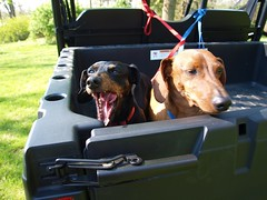 Doggie's work is never done. (Shutterfool) Tags: ohio dog ranger farm utility dachshund weiner polaris doxie