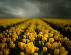 La primavera ya llegó! (soleá) Tags: lighting flowers flower holland nature dutch clouds dark landscape ilovenature photography europe fotografie dream soleá carmengonzalez