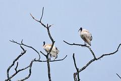 024003-IMG_3775 Australian white ibis (Threskiornis molucca) (ajmatthehiddenhouse) Tags: wpo2012 2012 solomonislands rennell bird australianibis threskiornismolucca threskiornis molucca australia threskiornismoluccus