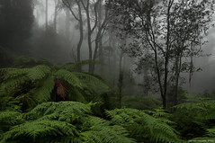 In The Mood (Ranga 1) Tags: mist david green nature fog forest nikon rainforest australian young australia melbourne victoria jungle ferns tremont treefern gully mountdandenong dandenongs dandenongranges tokina1224mmf4 treeferns mygearandme mygearandmepremium mygearandmebronze mygearandmesilver mygearandmegold