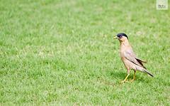 Photography (400) (Mr Kay Photography) Tags: india bird birds canon photographer mrkay birdphotography 550d canon550d 550dcanon mrkayphotography