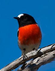 Alert (Geoff Main) Tags: bird robin australia act scarletrobin canonef100400f4556lisusm canon7d tharwasandwash
