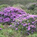 Blooming Rhododendron Plants