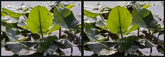 Blairs Pond Foliage (starg82343) Tags: lake reflection green nature water bug insect de outside outdoors spider stereoscopic stereogram 3d crosseye pond critter foliage stereo stems milford delaware stereopair creature sidebyside lillypads stereoscopy stereographic waterplant creepycrawler freeview crossview brianwallace xview waterspider xeye