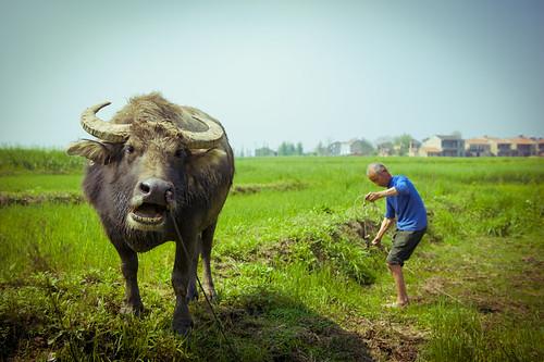 Hubei / 湖北 | bubalus bubalis / 水牛