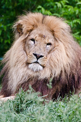 African Lion 2 (Funky Foxy) Tags: lion africanlion pantheraleo endangeredbigcats