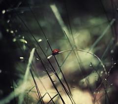 biedronka (ladybug) (ewitsoe) Tags: grass forest 35mm bug insect woods nikon ladybug biedronka d80