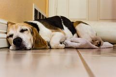 9 (KevinEBarnett) Tags: dog beagle puppy kevin nap sleep tricolor casper snooze barnett derp kevinbarnett