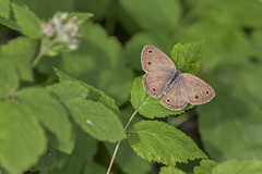 Brown Butterfly (Gary Shaver) Tags: insectsandspiders
