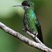 Green-crowned Brilliant (Heliodoxa jacula) Hummingbird