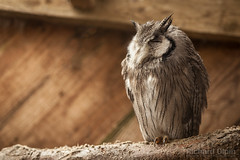 White-Faced Scops Owl (Richard Olpin LRPS) Tags: bird animal fauna flickr wildlife owl online herefordshire facebook kington whitefacedscopsowl owlcentre