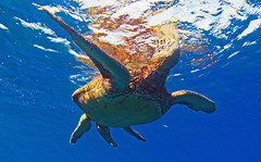breathe (bluewavechris) Tags: ocean life blue sea brown green nature water animal swim canon hawaii marine underwater snorkel turtle reptile wildlife dive shell maui scales creature flipper 1022 seasea t1i