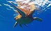 breathe (bluewavechris) Tags: ocean life blue sea brown green nature water animal swim canon hawaii marine underwater snorkel turtle reptile wildlife dive shell maui scales creature flipper 1022 seasea t1i