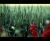 Aghi in un pagliaio #4 (Celeste Messina) Tags: flowers red detail macro verde green field landscape corn focus wheat country campagna particular tuscany poppy ear campo fiori toscana piante rosso paesaggio grano dettaglio papavero spiga