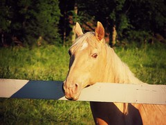 (the fragile.) Tags: portrait horse face pretty american quarter palomino gelding highqualityanimals