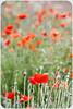 Amapolas (Evamar Llopis) Tags: flores primavera rojo amapolas campodeamapolas