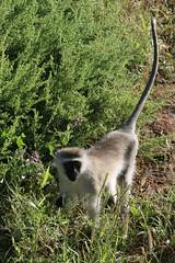Africa (HWILPLAY) Tags: africa trees baby elephant tree river monkey lion brush lizard giraffes lions zebra crocodile monkeys giraffe elephants hippopotamus crocodiles guineafowl tortuous
