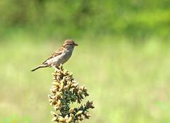 Mrs Sparrow (Mr Grimesdale) Tags: sparrow britishbirds stevewallace mrgrimesdale