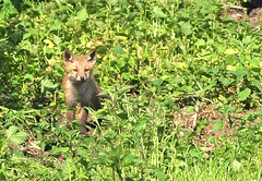Watching you, watching me,watching you (Mr Grimesdale) Tags: fox foxcub stevewallace mrgrimesdale