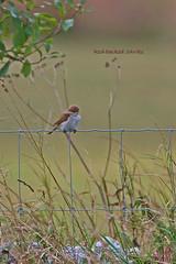 REBASH 0014 (bryanjsmith62) Tags: birdsofsweden lanidae shrikes laniuscollurio redbackedshrike ©bryanjsmith