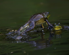 Bullfrogs Fighting 3 (RevondaG) Tags: pond amphibian fighting americanbullfrog matingbehavior defendingterritory