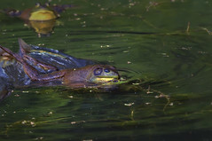 matingbullfrogs001 (RevondaG) Tags: pond amphibian fighting americanbullfrog matingbehavior defendingterritory