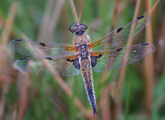 Four Spotted Chaser (GaryHowells) Tags: