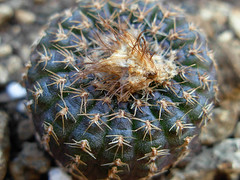 Frailea schlosseriana (Succulents Love by Pasquale Ruocco (Stabiae)) Tags: cactus cactaceae stabiae succulenta frailea cactusco pasqualeruocco succulentslove